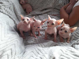 Canadian Sphynx Kittens Ready For Reservation