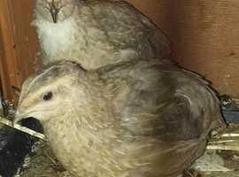 3 identical white/grey beautiful quails