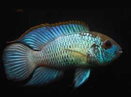 Electic blue acara breeding pair fish