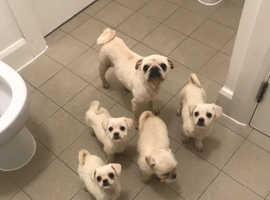 pug cross puppies  ready now