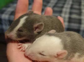 Fancy baby rats
