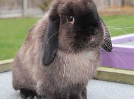 Handsome Buck Mini Lop - Retiring