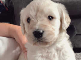 Standard labradoodles for sale