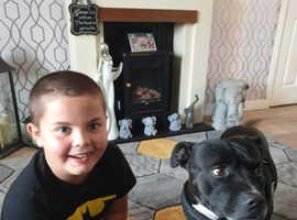 Amazing Staffordshire bull terrier boy
