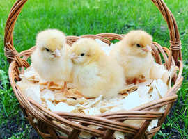 Various Pure Breed Day Old Chicks