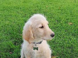 Golden Doodle Puppy Enniskillen