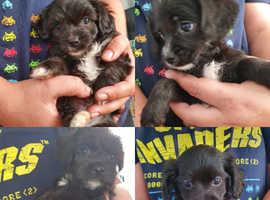 Cavachon x puppies