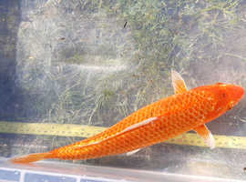 Large Orange Gin-Rin Koi