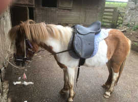 Approx 11hh 5 year old dartmoor pony