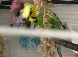 Special male budgie