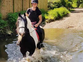Vincent 14.1hh fun cob gelding for share/part loan - Arborfield - Berkshire