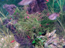 Red Cherry shrimp live tropical