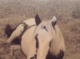 Beautiful 10 month old filly