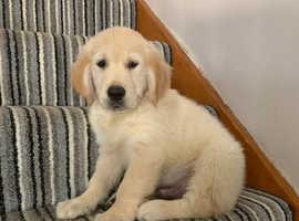 1boy kc Reg golden retriever puppies for sale