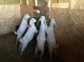 4 Angora kids for sale