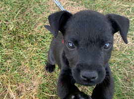 WANTED - PATTERDALE PUPPY