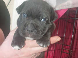Dogue De Bordeaux cross Staffordshire Bull Terrier pups