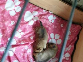 2 Male beautiful jug puppies