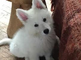 Beautiful White Swiss Shepherd pups READY NOW,!