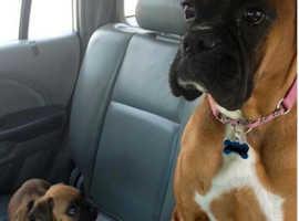 Boxer dog pups