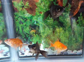 4 healthy fantail goldfish, free to a new home