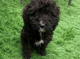 Cockapoo girl puppy
