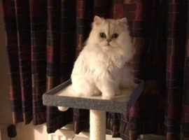 Lost Persian cat