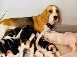 Gorgeous beagle puppies