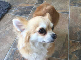 Gorgeous Chihuahua