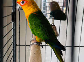 Young talking semi tame baby Jenday Conure rare to see