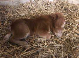 Chestnut colt foal