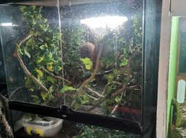 Breeding pair crested geckos