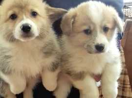 Lovely Welsh Corgi Pups for Sale