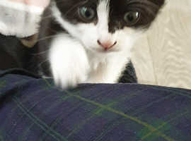 Beautiful Kittens Ready For New Homes only 1 left..