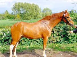 Coloured Riding pony