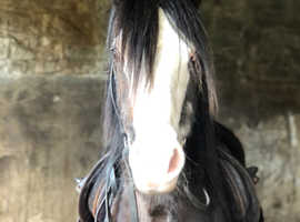 **12.1h section A type gelding**