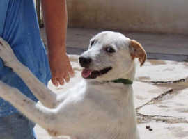 Rusty -RESERVED - 2 year old lab x dalmation - good cats and dogs - not based