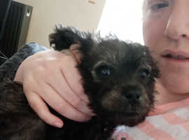 4 month old pugapoo for sale