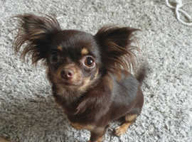 ( SOLD )Gorgeous tiny chihuahua girl 13 months old