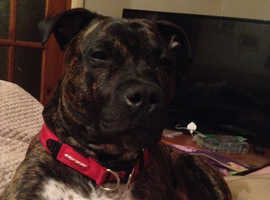 Beautiful 3/4 Staffie need loving home