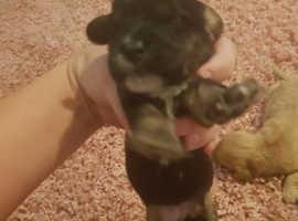 Golden and trio colour cockerpoo puppies for sale