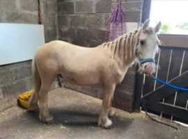 Still for sale........Palomino colt 18 months old