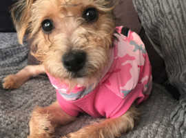 Jack Russell cross Yorkshire terrier PLEASE READ DISCRIPTION