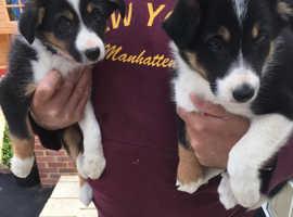 Collie x cocker spaniel puppies