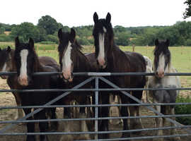 Horses and ponies wanted! Cash hassle free buyer!