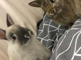 Netherland dwarf bunnies for sale