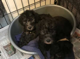 Blue and liver bedlington pups
