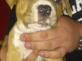 mastiffxstaff puppy for sale male