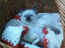 ragdoll x british shorthaired kitten