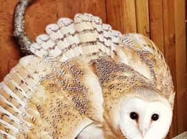 Two barn owls